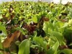 Salad Green Mix w/ Arugula